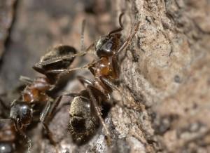 Guía de Plagas | Hormigas