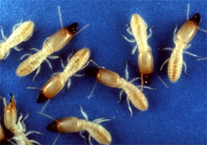 Guía de Plagas | Termitas