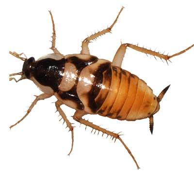 cucarachas en barcelona desinfectación desratización insectos roedores